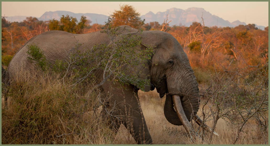 Africa's Big Tuskers - Elephant