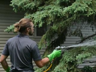 Worker treating a tree that has Rhizosphaera