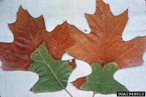 Oak wilt symptoms