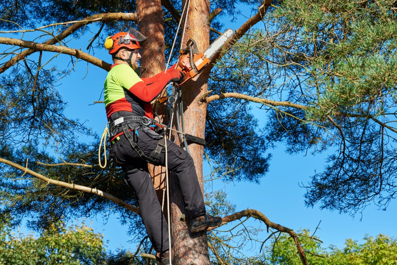 Worker trimming tree branch