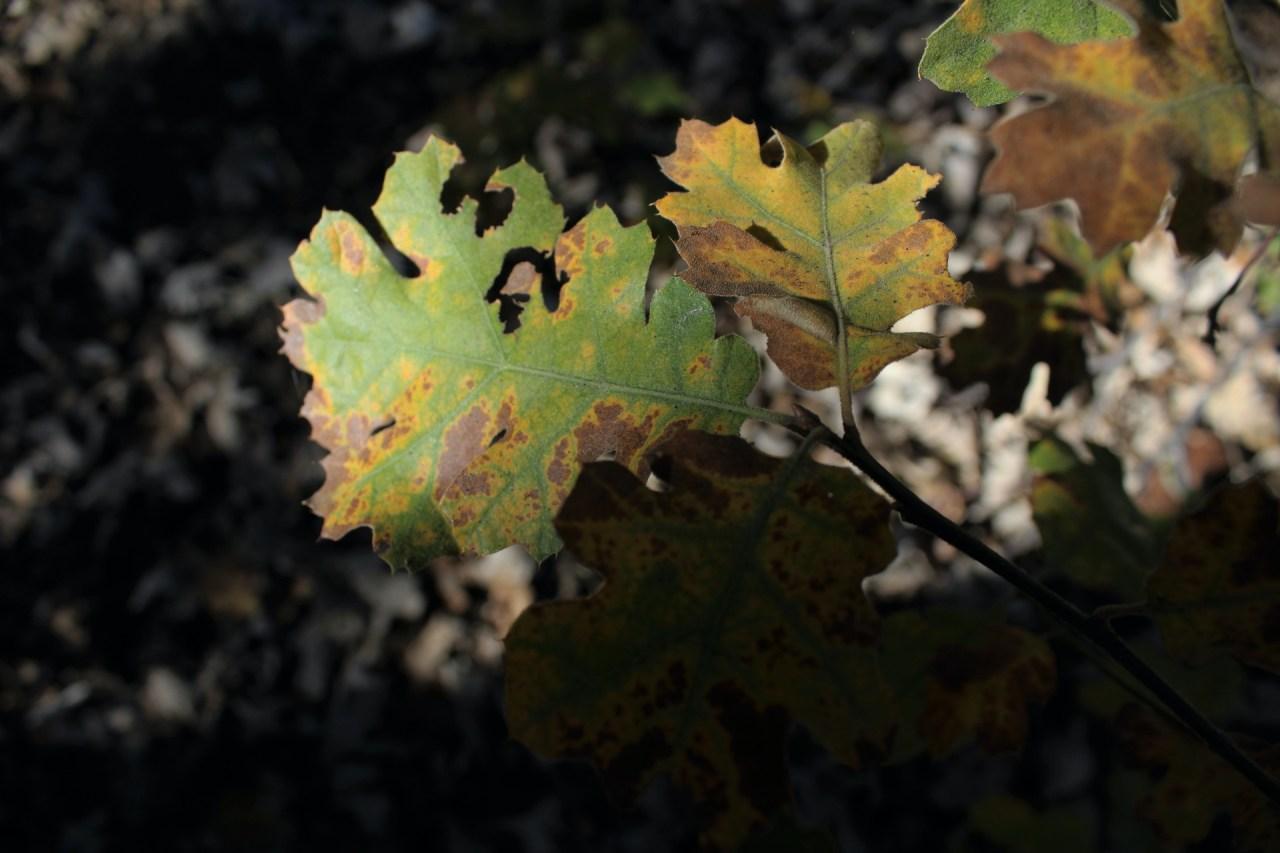 Oak wilt tree disease on leaves