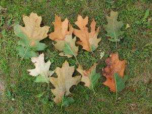 Sakalidis, M. (n.d.). Oak leaves showing oak wilt symptoms [Photograph]. MSU.