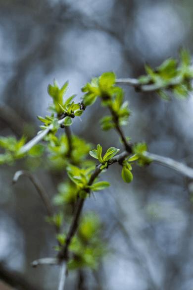 tree leaves in spring