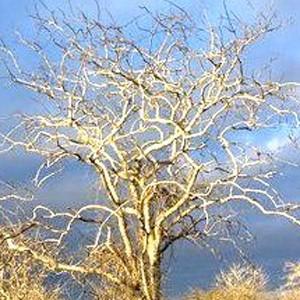 arbre-palo-santo