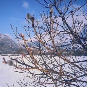 bourgeons-sous-la-neige