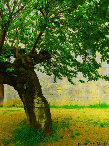 arbre à l'abbaye du Thoronet