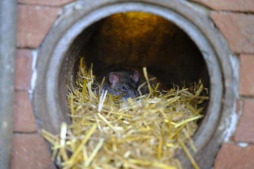 rat removal miami fl