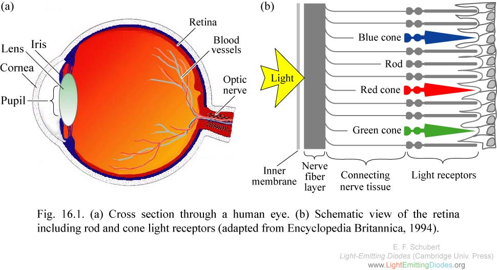 Human Eye Diagram With Rods And Cones