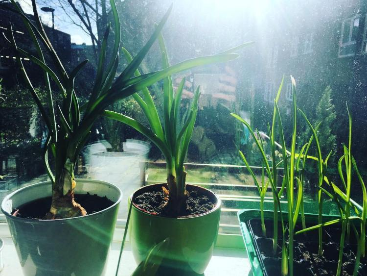 What to do if your onions and garlic sprouts in the cupboard Plant. Water. Sun. Wait. Tadaaaa! 🌱. Water. Sun. Wait. Tadaaaa! 🌱