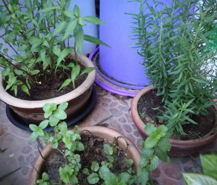 #herbsgarden #homegrown