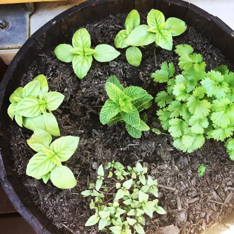 #lookingveryhappy #herbsgarden #ontherooftop #mint #basil #coriander