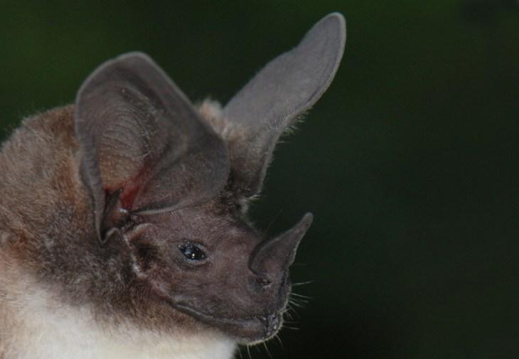 Yasuni National Park Bat