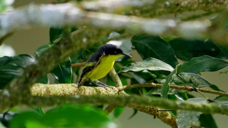 Birding Around Tena in the Amazon Rainforest