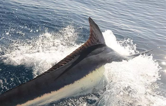 Black Marlin Istiompax Indica 02