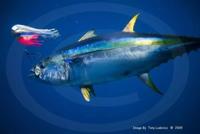 tuna-3