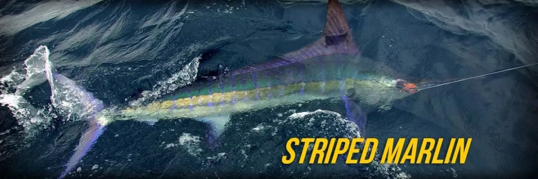 Striped marlin 01