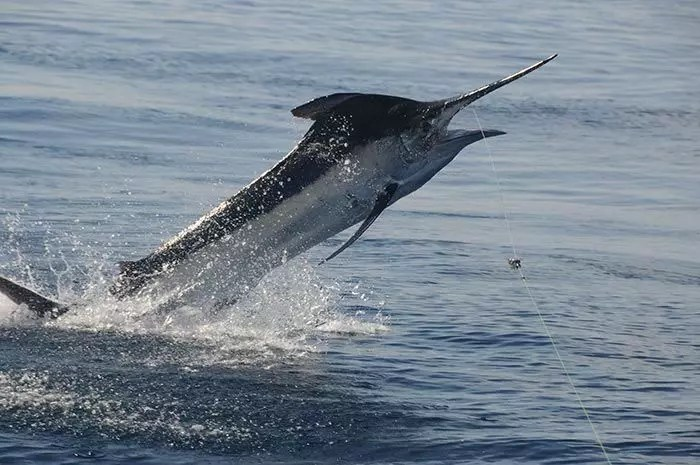 2016 – May 27-30 Marlin Fishing Report