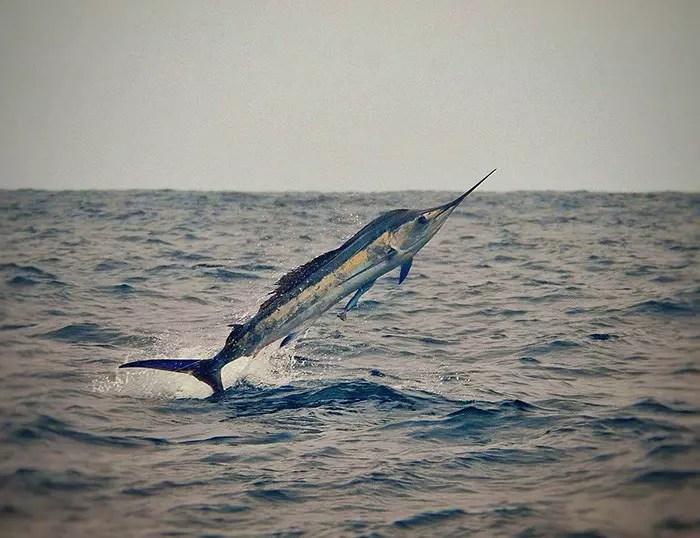 2016 – Ecuagringo Marlin Report Sept 22-25