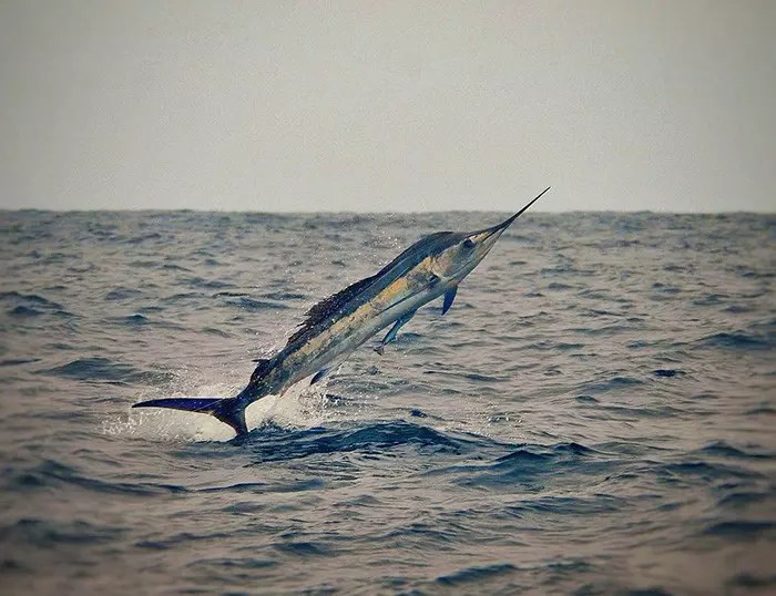 2016 – Ecuagringo Marlin Report Sept 22-25