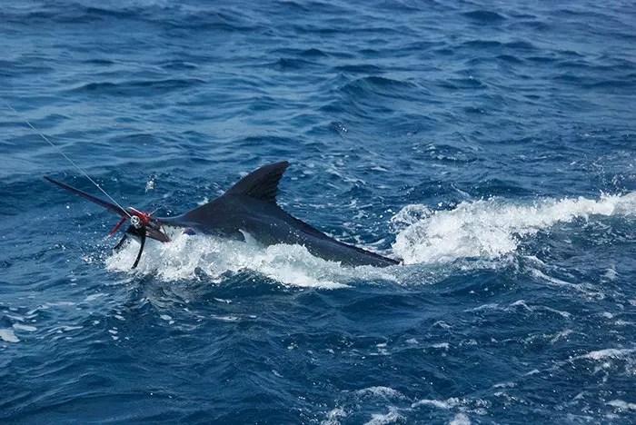 2016 – Ecuagringo Marlin Report Sept 6-11