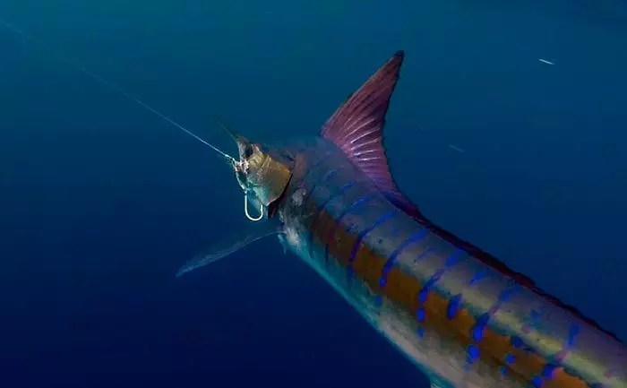 20161017-marlinfishing02