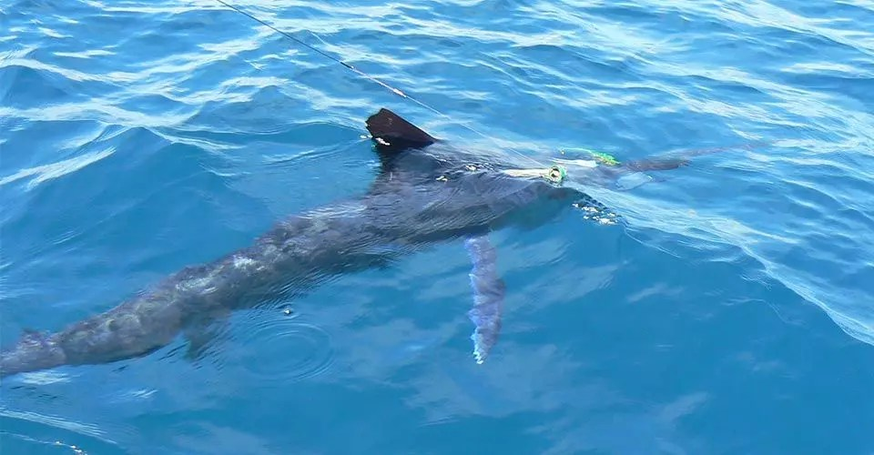 Marlin Fishing Report