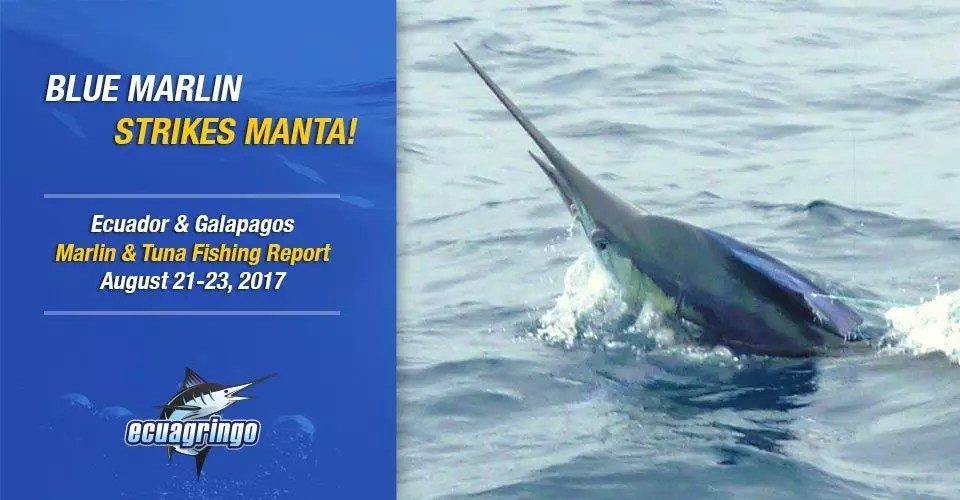 Blue Marlin Strikes Manta!