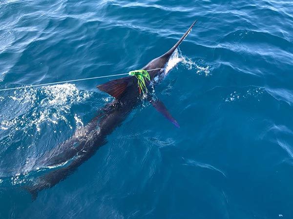 fishing reports 20180218 marlin tuna wahoo swordfish ecuador galapagos manta 04