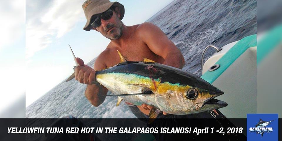 Yellowfin tuna red hot in the galapagos islands ecuagringo for Fishing in ecuador