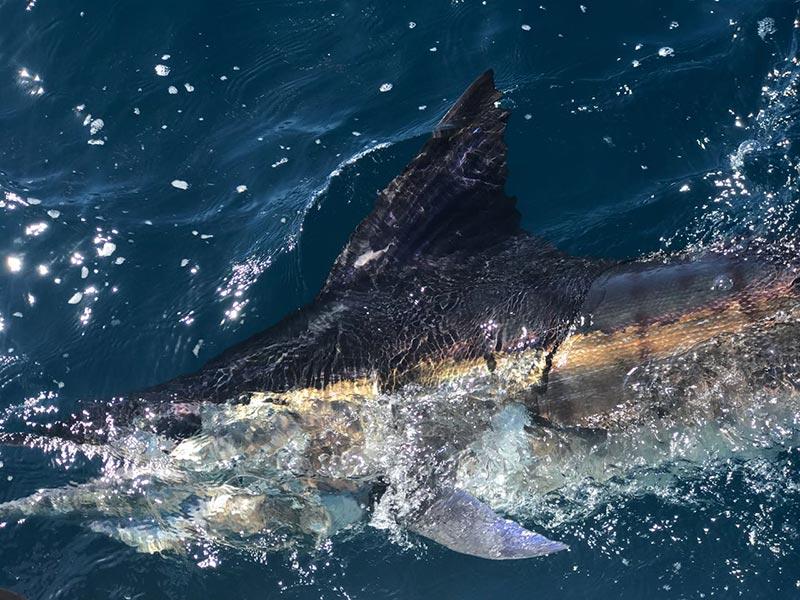 fishing reports 20180601 marlin tuna wahoo swordfish ecuador galapagos manta 02