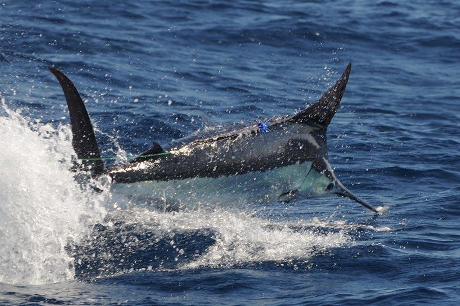 promotion 20181002 marlin tuna wahoo swordfish ecuador galapagos manta 06