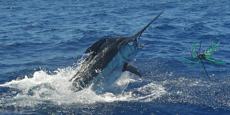 grander blue marlin 01