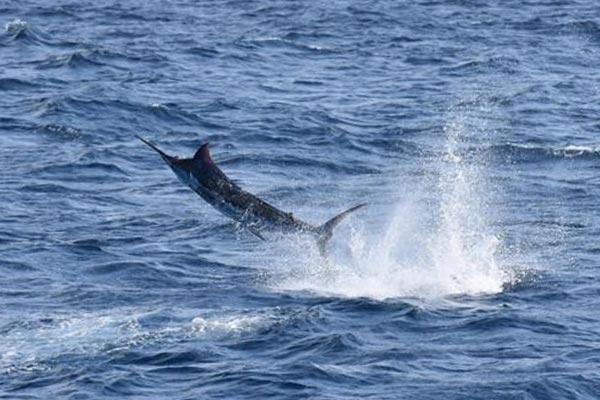 marlin fishing report 20181102 03