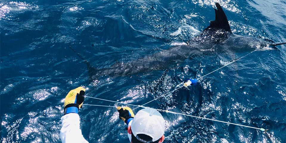 marlin fishing report 20190403 01