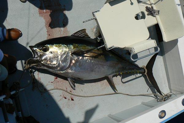 bigeye tuna fishing 03