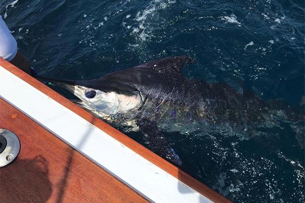 ecuagringo marlin fishing report 20190627 03