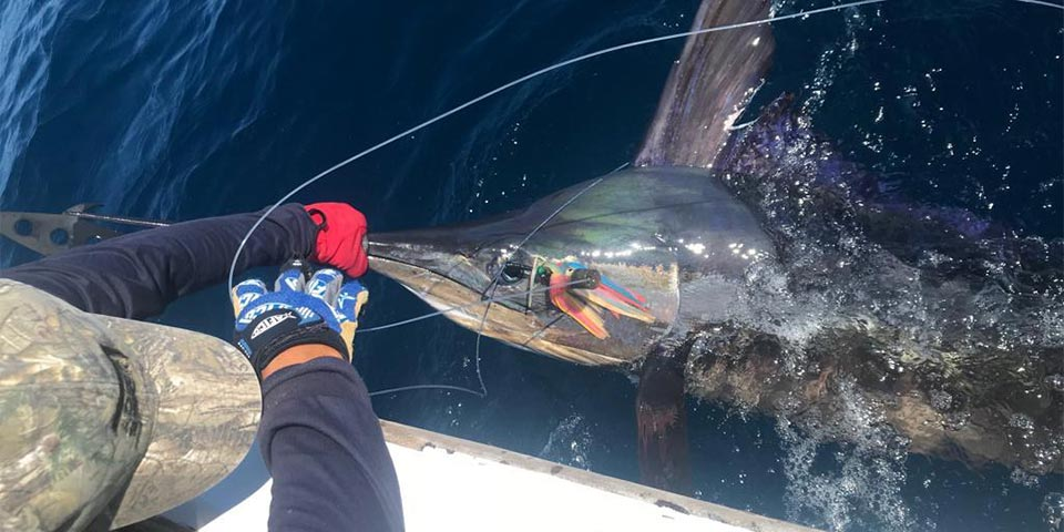 Marlin Action Continues All Throughout August!