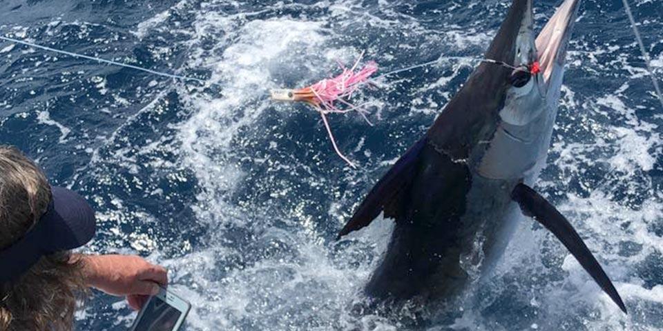 ecuagringo marlin fishing report 20200201 01