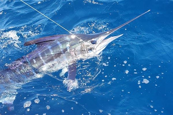 ecuagringo marlin fishing report 20200205 02