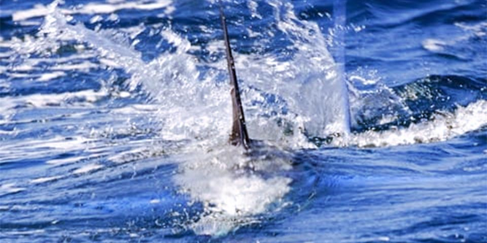 marlin fishing report 20201215 01