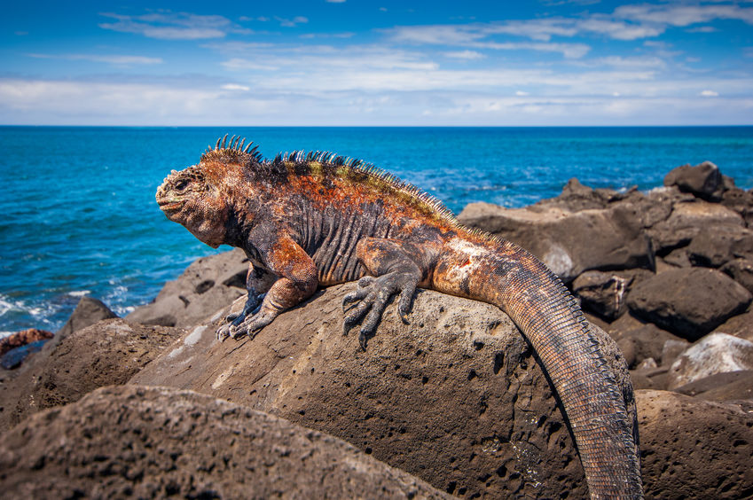 Five Fascinating Facts About Marine Iguanas