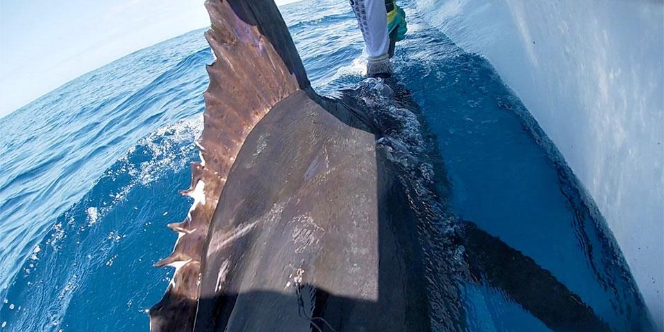 promotion isabela blue marlin fishing 01