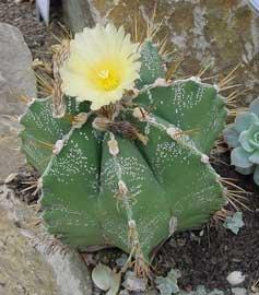 Cactus estrella - EcuRed