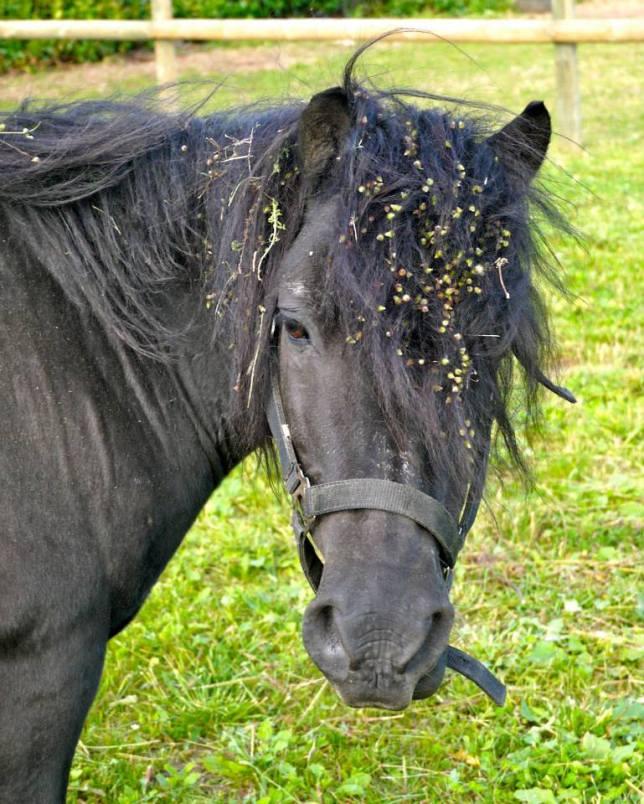 Réglisse est LE shetland des Ecuries Fidelis ! Ce poney sait parfaitement s'adapter à ses cavaliers et convient donc à la fois aux débutants mais également aux jeunes cavaliers plus expérimentés !