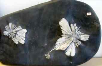Chrysanthemum, chrysant of flower stone