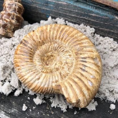 ammoniet fossiel madagaskar mineralen