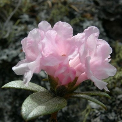 Rhododendron Medicinal Uses