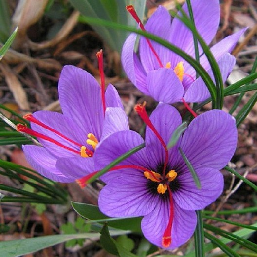 Saffron Crocus Sativus Bulbs | Buy Saffron Crocus Bulbs in Bulk at ...
