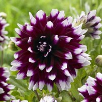 "Dahlia Bulbs (Dinnerplate) ""Mystery Day"""