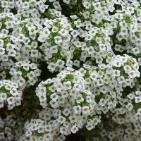 carpet of snow alyssum  Floor Matttroy